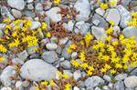 Bidende Stenurt (Sedum acre)